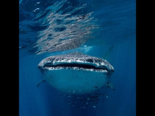 Whale Sharks in Philippines