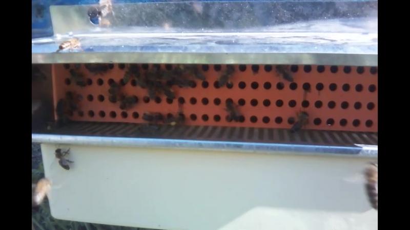 Мої бджілки труженеці зберають пелок))