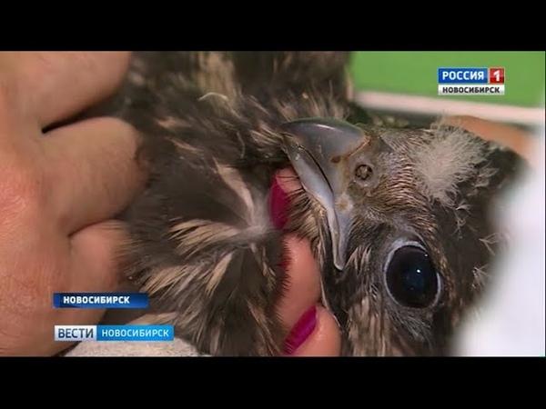 В Новосибирск привезли спасать редкого сокола