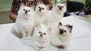 Священная бирма котята из питомника БЕЛЫЕ ЛАПКИ