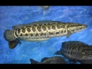 Змееголов ''ЮэЛи'' (лат. Ophicephalus asiaticus), либо ''Хэй Юй'' (чёрная рыба), или ''У Ли ЧаньНа'' (snakehead, лат. Channa arg