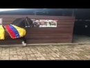 Колумбийская лошадь. тонкий шаг (Caballo Paso Fino Colombiano)