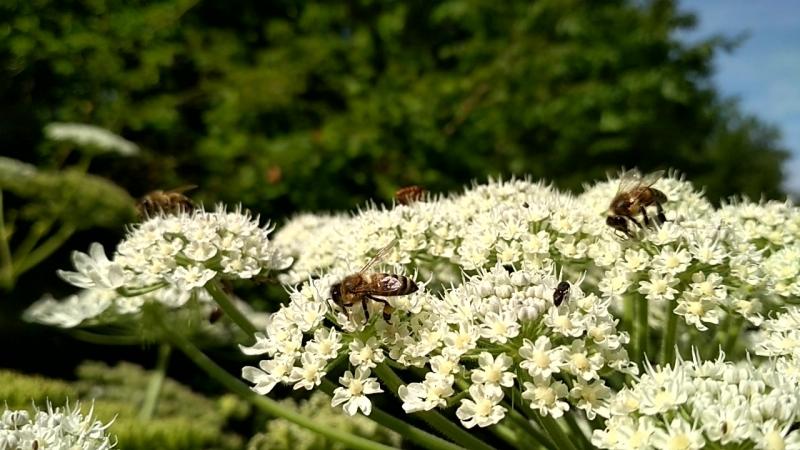 Пчёлы собирают нектар с борщевика