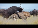 LIVE : National Geographic Animals - Craziest Animal Fights! - BBC Documentary Discovery Animals