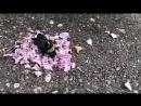 Ants Giving Funeral for Dead Bee Муравьи дающие похороны для мертвых пчел