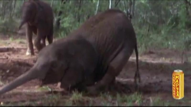 -Mejdan v Africe Jednou za rok se zvířata v Africe setkávají u jednoho druhu ovocného stromu na velkém mejdanu. Zkysané přezr