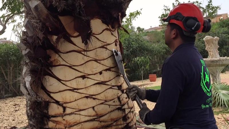 Pruning of palmpoda de palmeras