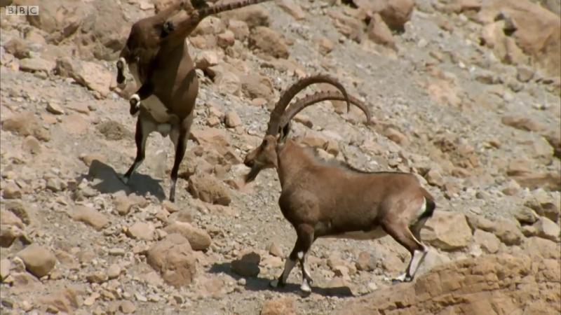 Нубийский горный козел (лат. Capra nubiana) - Wild Arabia - BBC