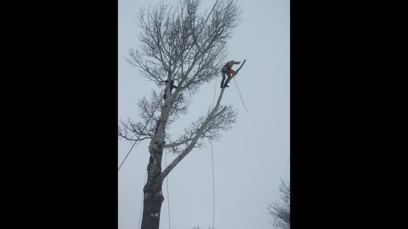 Работа арбористов Удаление аварийного дерева компанией ООО Крона в Старом Осколе