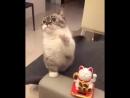 Кот повторяет движение за игрушкой