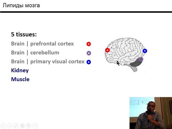 Хайтович Филипп - Исследование изменений липидного состава мозга человека в развитии и при старении