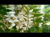 # Мария Пахоменко. Белой акации гроздья душистые #