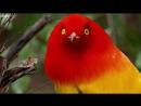 Сем. Шалашниковые Пламенный шалашник Австралия, Новая Гвинея