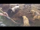 Специально обученные собаки ловят огромных крыс