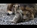 Счастливые кошки Африканские Львы