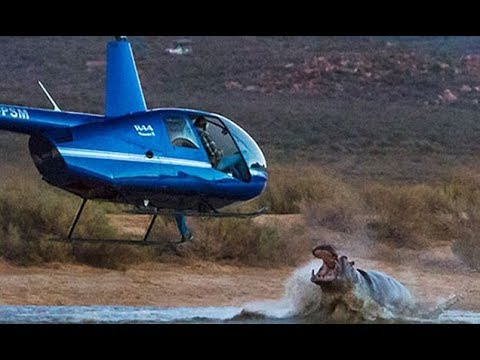 Rogue hippo launches itself out of a lake to try and grab a helic opter hovering overhead