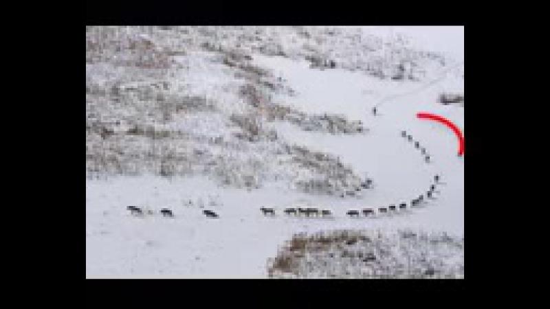 волки канадские