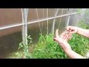 Подвязка томатов помидор в теплице