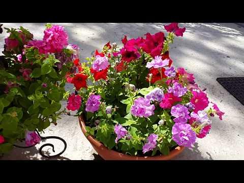 Цветы на моем приусадебном участке лето 2018