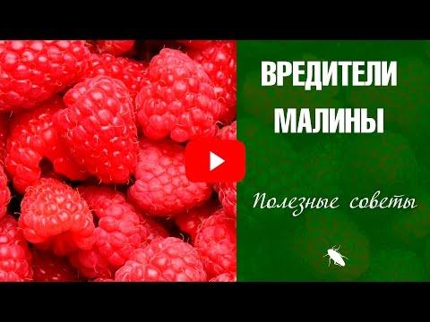 Вредители малины и борьба с ними 🌿 Фуфанон ✅ Карбофос