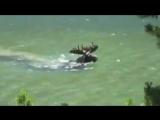 Уникальное видео, лось кормиться водорослями под водой❗️