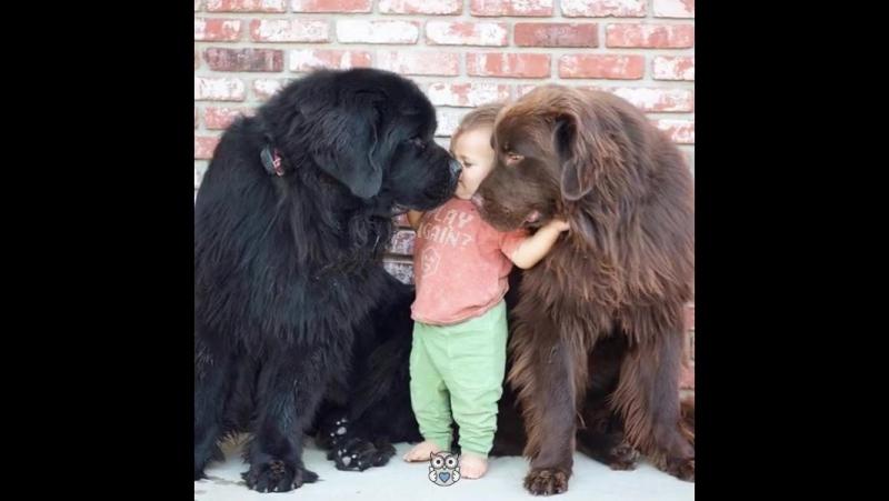 Questi cani giganti sono i babysitter migliori di sempre!(Эти собаки гиганты всегда лучше чем няни!)
