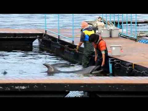 A trainer at Dolphin Base puts her arm down the throat of a dolphin in order to give it medicine