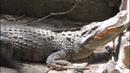 Video crocodile scream sound animal voice