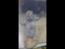 Дамбо крыски