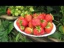 Хотите крупную клубнику Всего 4 правила, и будет отличный урожай!
