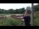 Специфическое выступление перед стадом коров