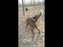 Бразильский фила VS дворняга Собачьи бои