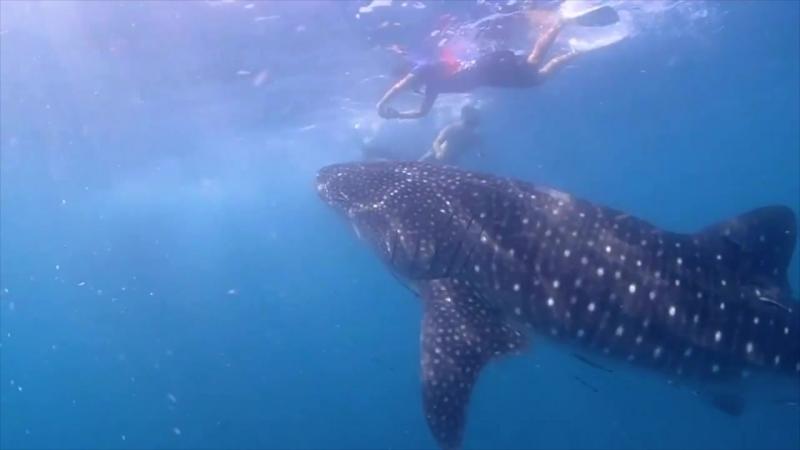 Китовая акула на дайвсайте Hardeep wreck | Дайвинг в Паттайе