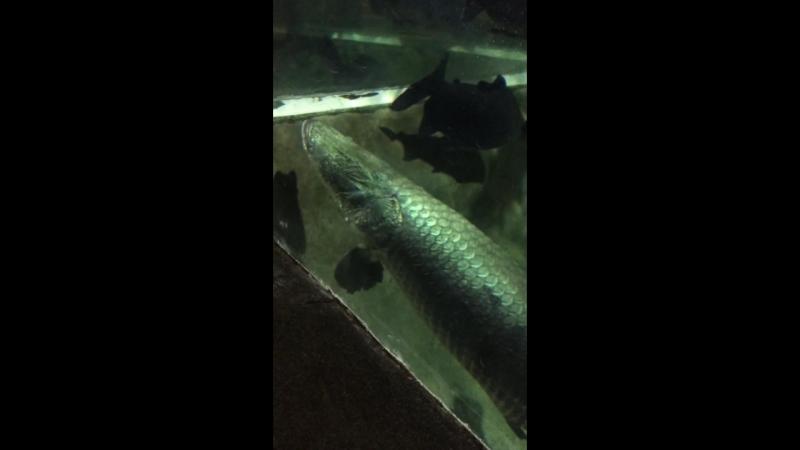 пираньи, рыбы-гиганты
