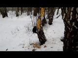 Бесстрашный дятел на лыжной базе позволил на видео снять )