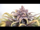 Cannabis In Motion Purple Kush (Гонцы 420)