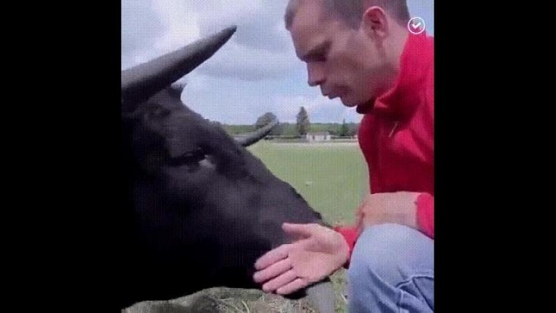 Человек спас быка от смерти и тот отплатил ему любовью.