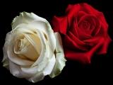Роза Белая, Роза Алая (Артур Халатов, Альбина и Фати Царикаевы )