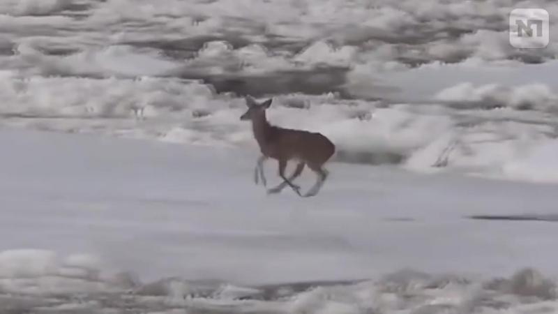 Маленький оленёнок чудом спасся с трескающейся льдины