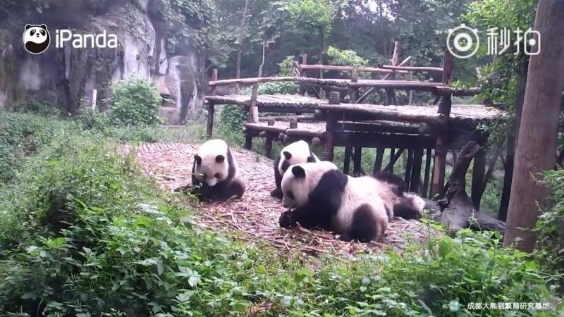 Канал iPanda Panda