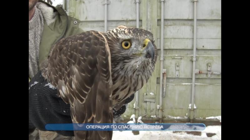 Сотрудники ТВ-Домодедово организовали спасение ястреба