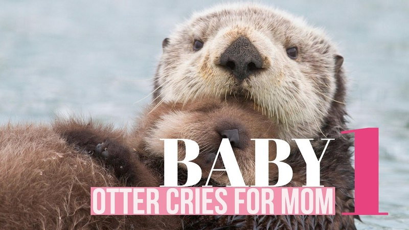 Baby Otter Cries While Being Groomed - Part 1