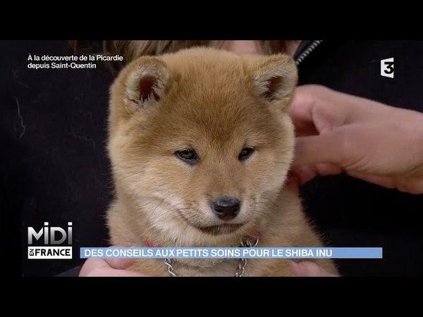 Shiba Inu : rencontre avec une éleveuse de chiens japonais