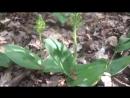 Дикая орхидея Тайник овальный
