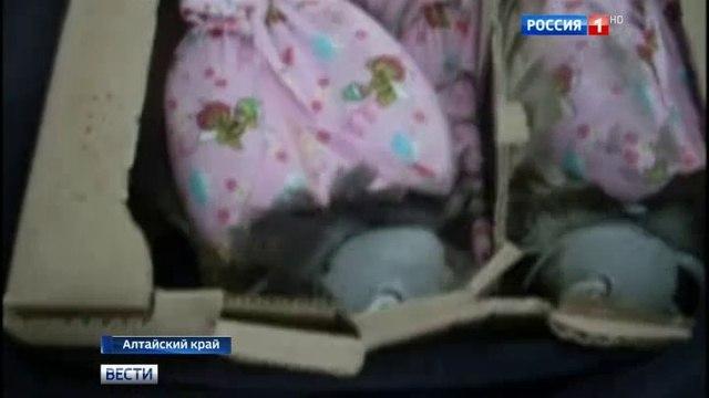 Вести-Москва • Столичные орнитологи вернули на Алтай пятерых соколов-балабанов, изъятых у контрабандистов