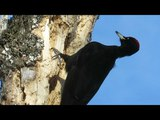 Черный дятел Желна добывает личинок из березы, Black woodpecker extracts larvae from birch