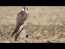 Сапсан. Самая быстрая птица в мире!