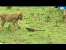 Леопард vs Дикобраз ►► Настоящий бой - Ягуар Крокодил Питон Змея Монгузский лев Слон Носорог