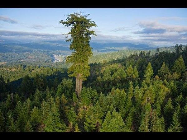 10 высочайших деревьев планеты. Секвойя Вечнозелёная.
