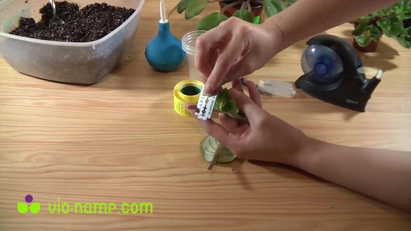 Укоренение листового черенка фиалки (сенполии) (1).mp4